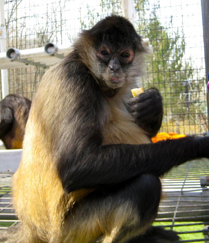 Dehlia the spider monkey has a wonderful hairdo, doesn't she?