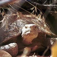 Desert tortoise by Beth Jackson, USFWS