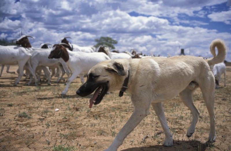 CCF's Livestock Guard Dog Programme is a valuable tool to prevent human-predator conflict.