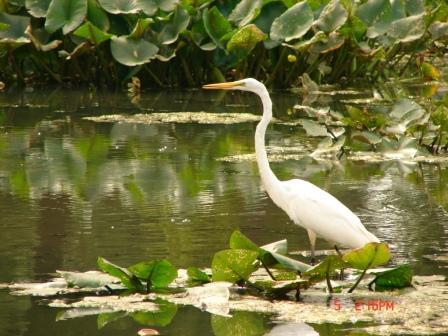 Eddie - Great White Egret 9-05-08