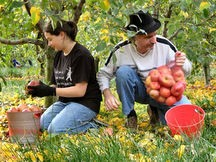 Gleaning Apples