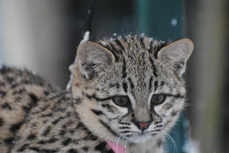 Grace Geoffroy's Cat takes a first walk in the snow