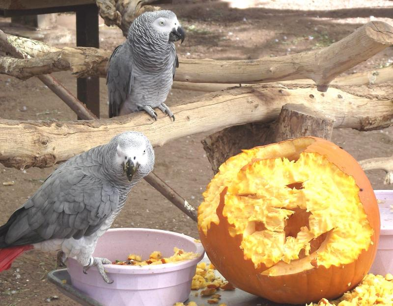The African Greys take pumpkin carving very seriously!