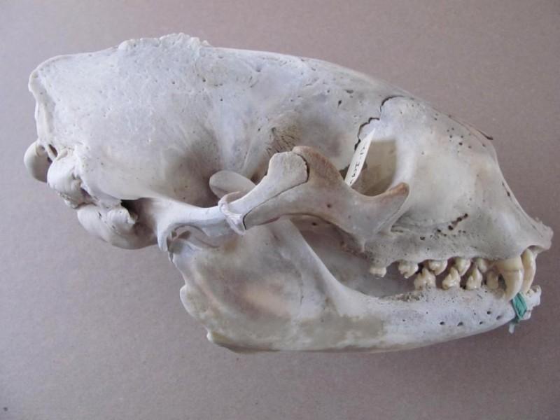 Harbour Seal Skull Used in Programs