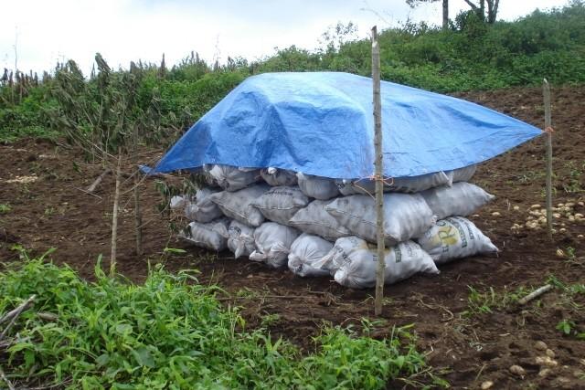 Successful Potato Crop