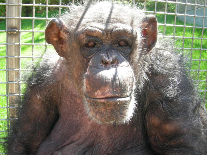 Hazel is our oldest chimp. She was rescued after years of living in horrendous conditions, and has certainly earned her title as dominant female of her troop!