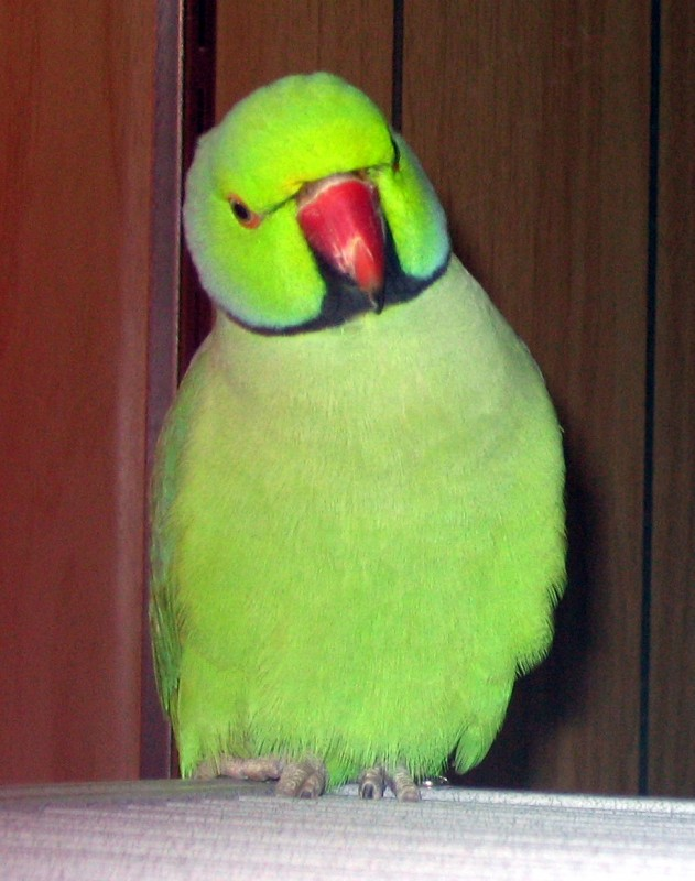 Willie, an Indian Ringneck from an aviary which closed 12/2008