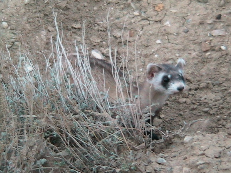 Black-footed ferret reintroduced thanks to BCA lawsuit, BCA photo.