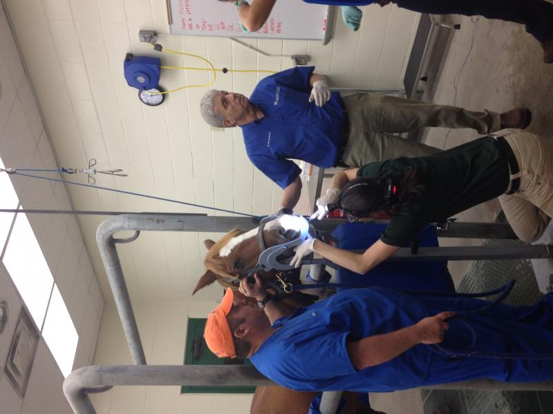 one of our horses having chemotherapy at UF in gainsville