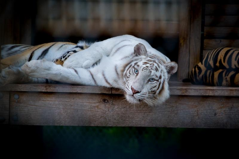 Runty, female Siberian tiger, relaxing on her front porch.