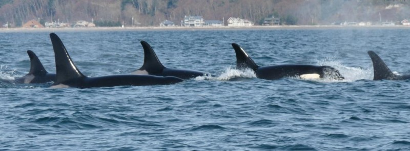 J pod in Admiralty Inlet, February 2011, by Susan Berta