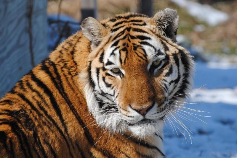 Jacob Tiger sunning