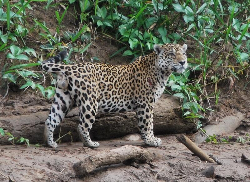 Jaguar in Manu National Park, Peru, by Miguel Moran