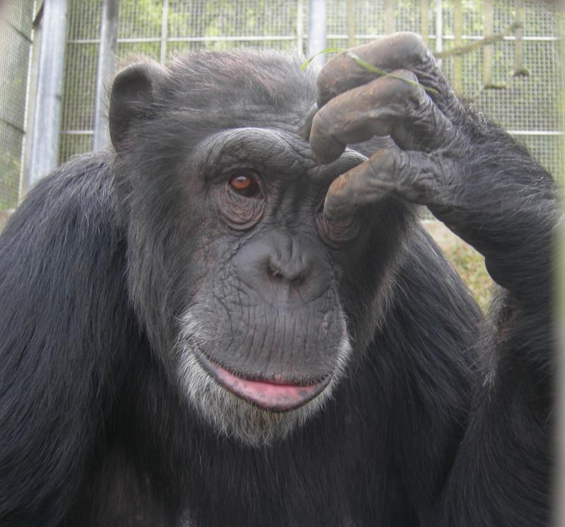 Jenny the chimpanzee sure is photogenic!