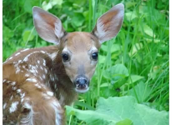 Young white-tail deer fawn