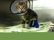 KSC rescues kittens like Bacon who was found with severe burns and needed to be at the vet for a month