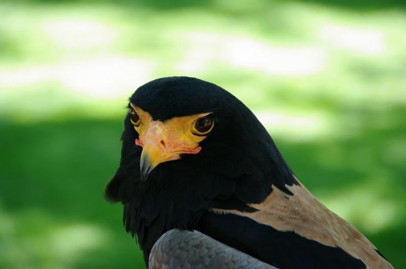 Kwang, a Bateleur Eagle