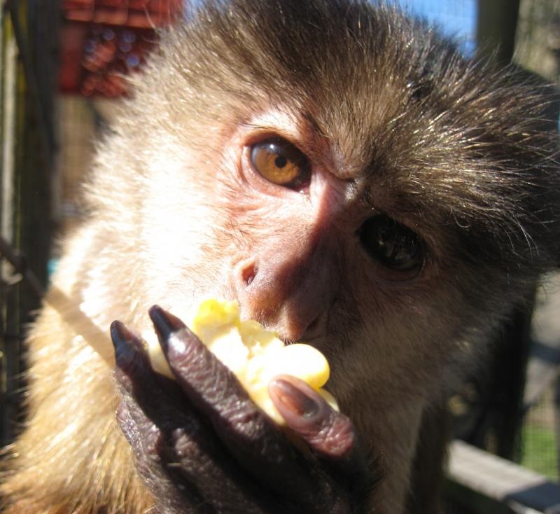 Kelsey the capuchin is quite curious.