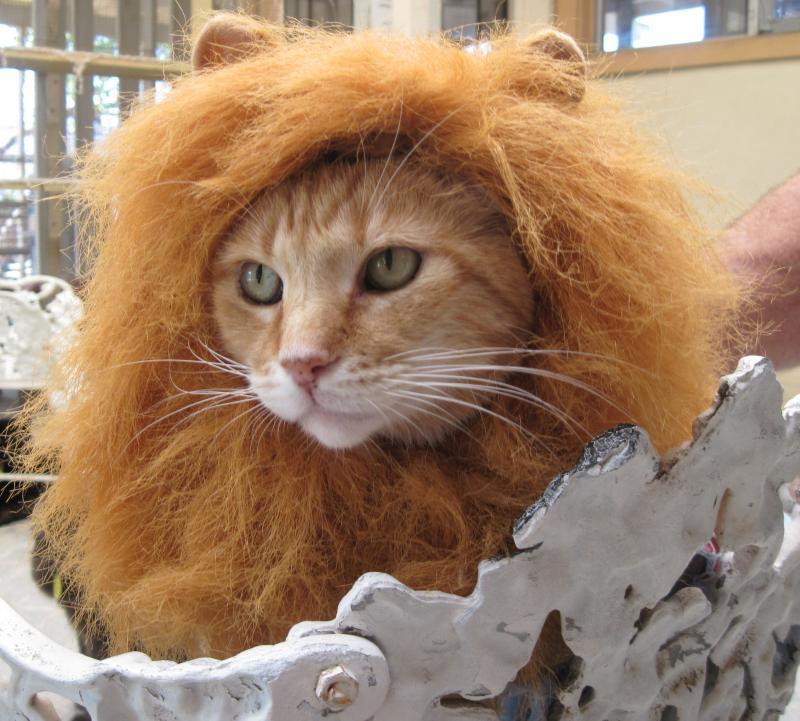 King Leon the Lion Kitty!