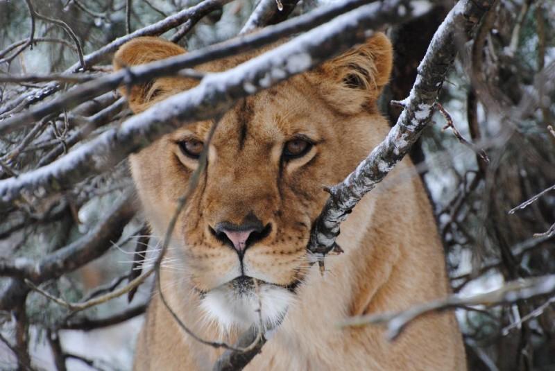 Kira Lioness
