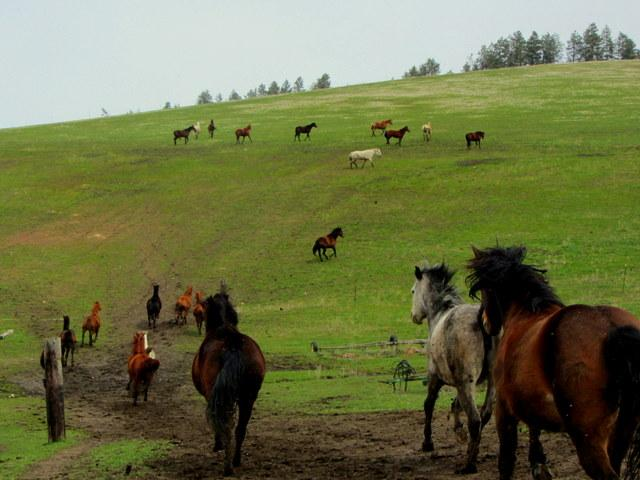 The main herd going out to pasture