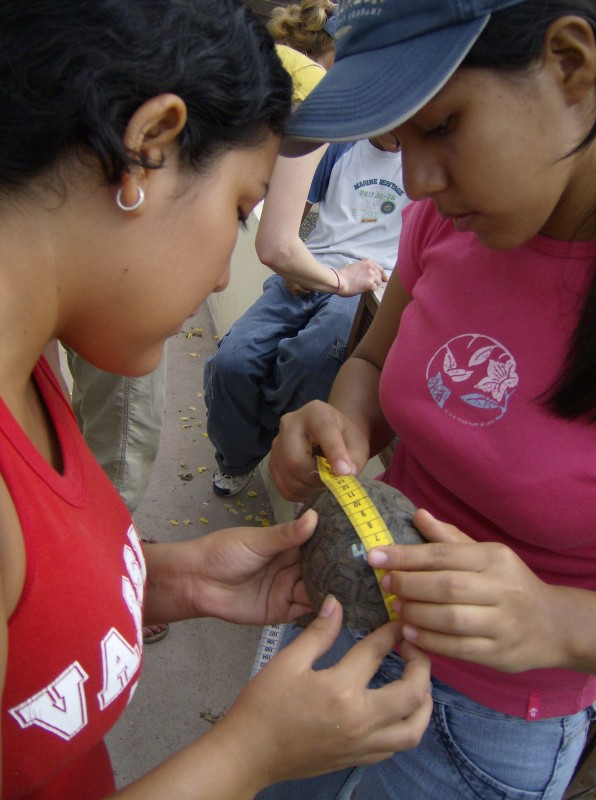Measuring Galapagos tortoise hatchling