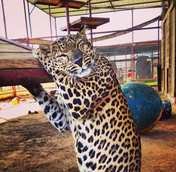 Milo the spotted leopard loving on his ramp