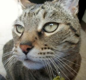 Monty was an 11-year-old grey tabby who lived with us for over a year before finding his own home!
