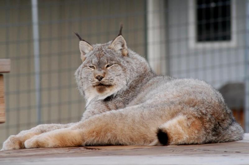 George the lynx