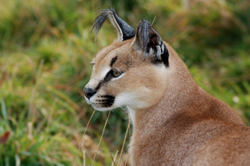 Sampson the caracal