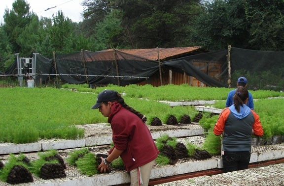 Packing tree seedlings at the nursery