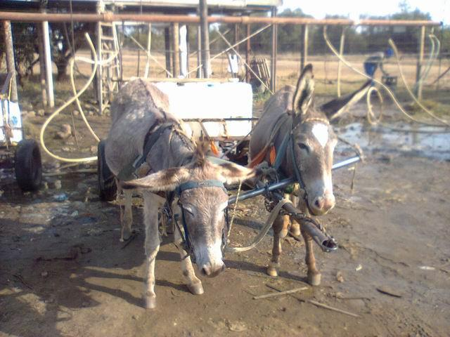 we assist working donkeys in squatter camps by carrying out regular clinics