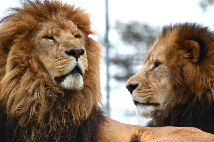 Ra and Thomas Lion (photo by Stephanie Butzer)