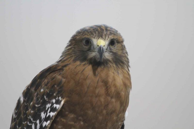 Red-shoulkdered Hawk / Photo by Bob Lewis, one of our birding instructors and field trip leaders