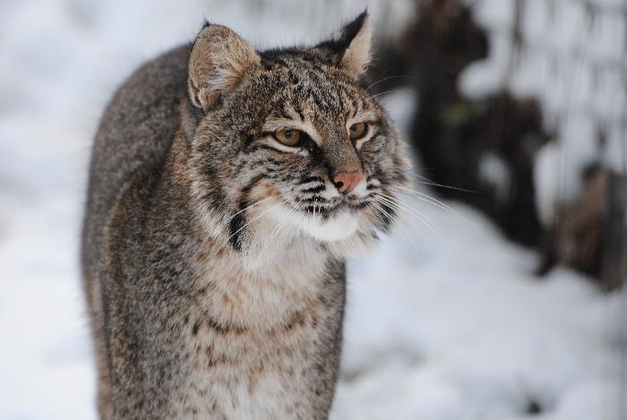 Reno bobcat
