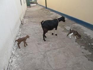 Good news to share regarding the goats. One goat produced two kids one female and the other male