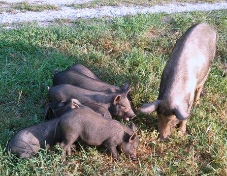 Sow and 7 babies dumped on road was rescued by one of our volunteers with 24 hrs of being reported