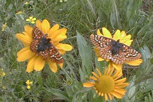 Sacramento Mountains checkerspot butterflies by Eric Hein, USFWS