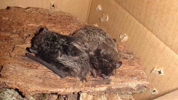 rescued bats after Superstorm Sandy