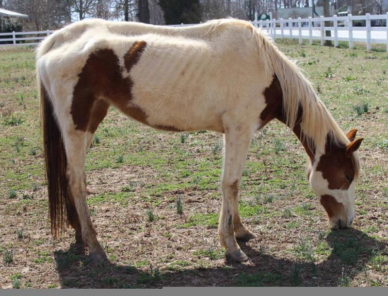 Sparrow starved mare intake pic March 2014.