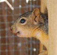 Squirrel in rehab close to being ready to release.