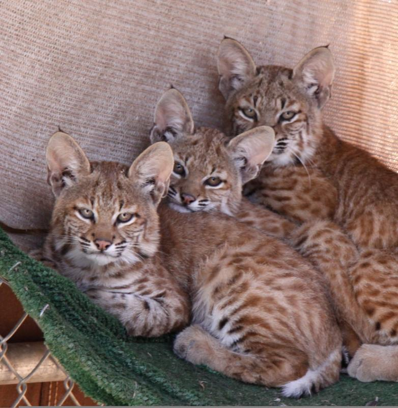 Bobcats rescued