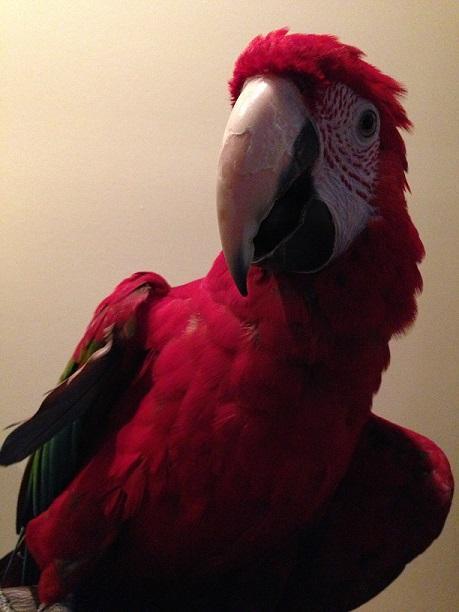 Tito new rescue before beak care