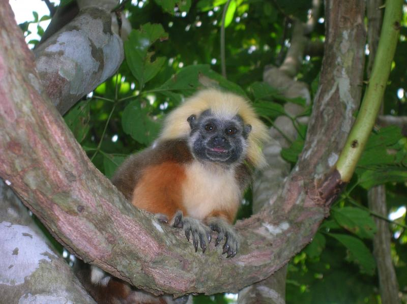 The cottontop tamarin is a monkey found only in Colombia. WCN works to protect this adorable monkey.