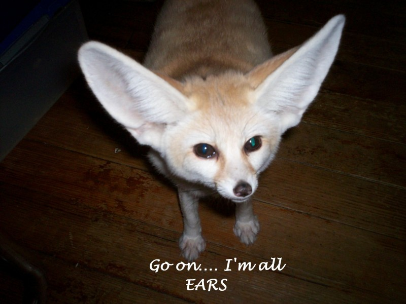 Flash the fennec fox