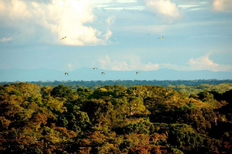 Parrots in flight at ACA's Los Amigos Biological Station by Frances Buerkens
