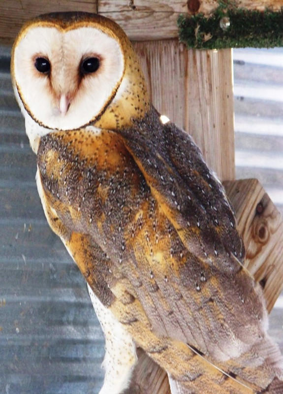 Barn Owl cut out of barbed wire-successfully rehabiliated and released!