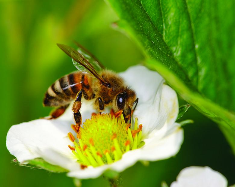 Protecting bees at home and abroad—The EU placed a two-year moratorium on use of three bee-harming pesticides. Pressure is mounting on EPA to look at the science of pesticide impacts on bees.