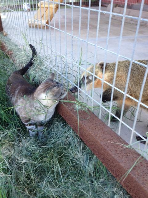 Bindi the coati saying hi to one of the resident domestic cats, Rikku