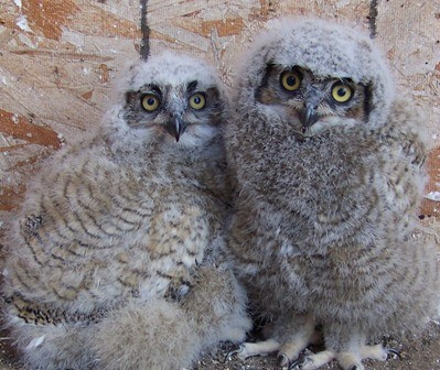 Orphaned Great Horned Owls in rehab.